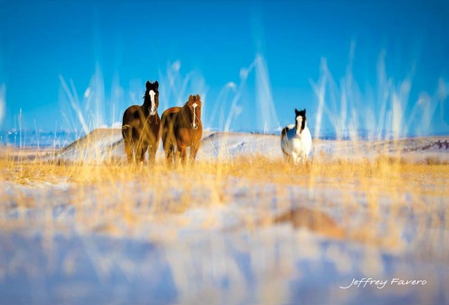Curious Horses Postcard