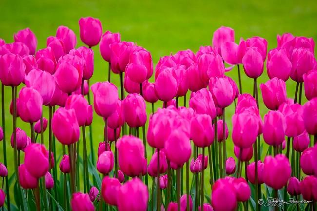 Pink Tulips Green Bokeh