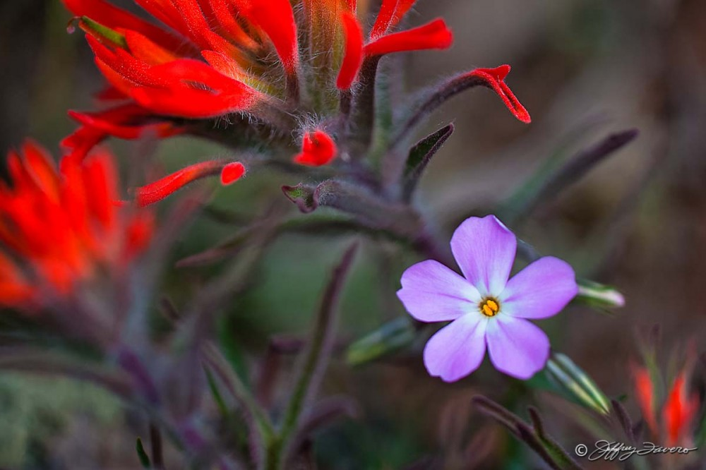 Amidst Indian Paintbrush