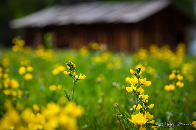Yellow Wildflowers And Cabin