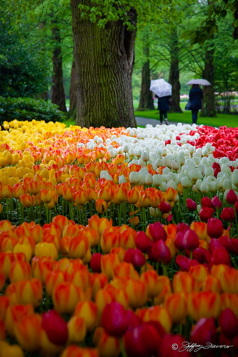 Virtual Sea Of Tulips