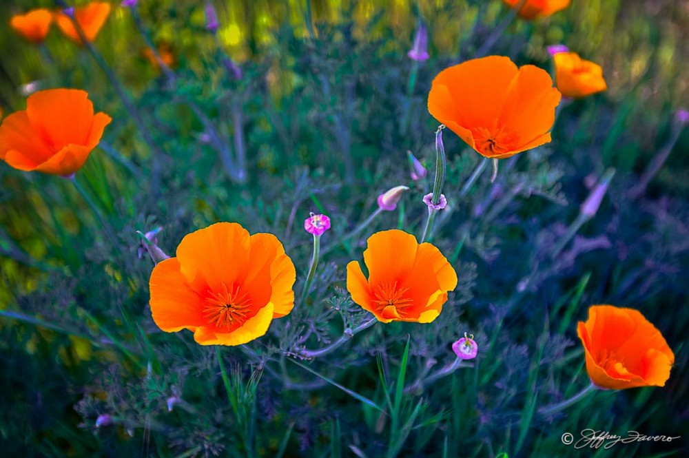 Poppy Afternoon