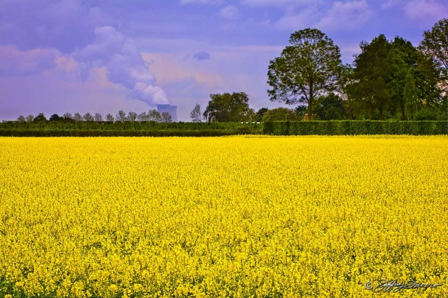 Field of Canola - Belgium