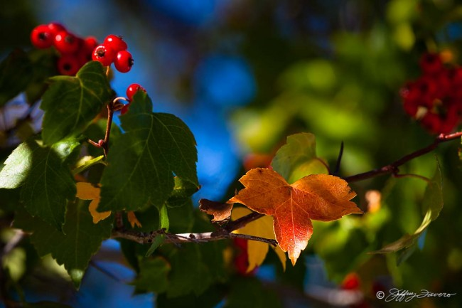 Fall Berries And Leaves