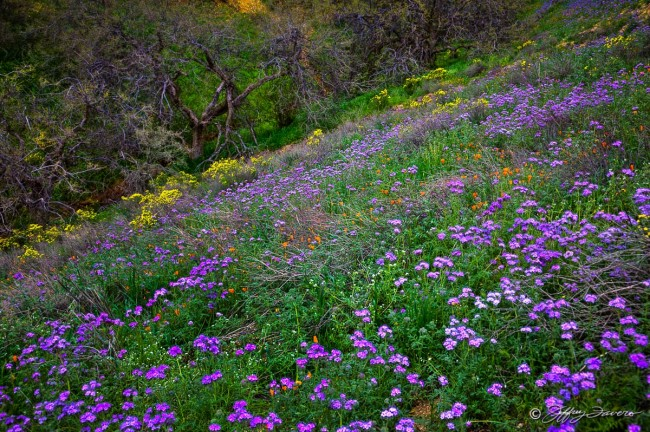 Kern County Wildflowers