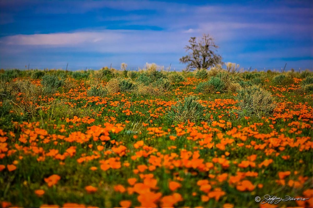 Poppies And Sagebrush