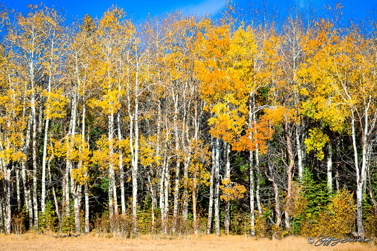 Fall Quaking Aspen Jeffrey Favero Fine Art Photography