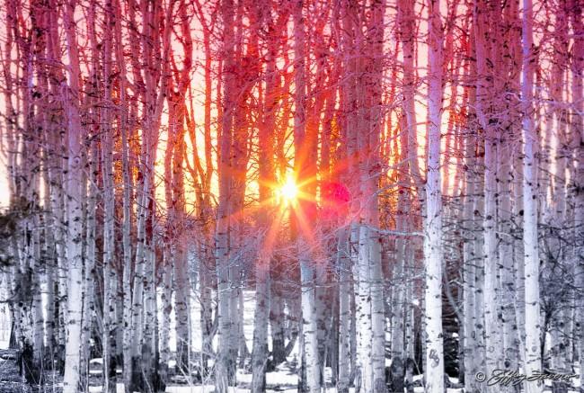 Sun Through Winter Quakies