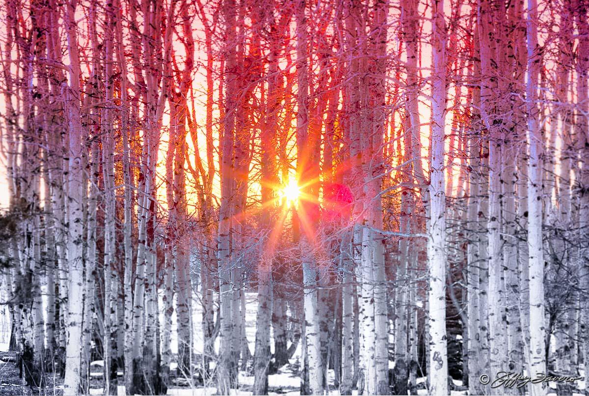 Sun Through Winter Quakies Jeffrey Favero Fine Art