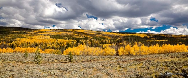 Quaking Aspen Splendor