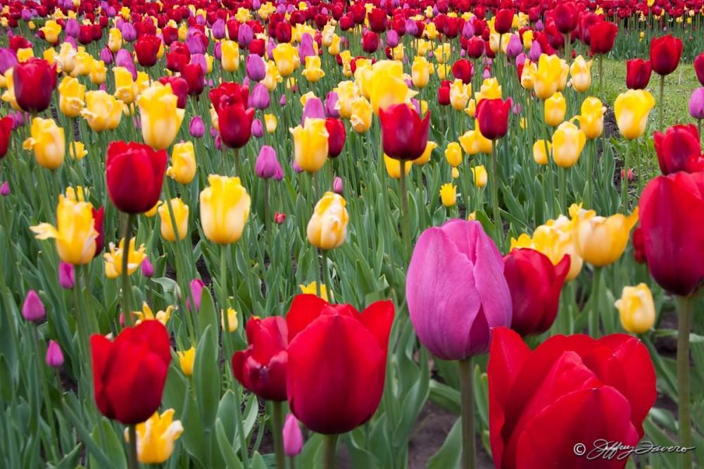 Field of Tulips - Ukraine