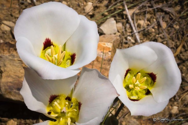 Sego Lilies