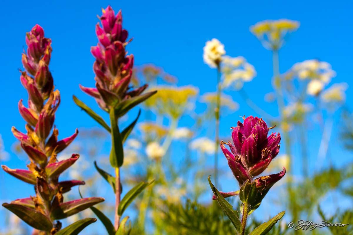 Mountain Wildflowers Jeffrey Favero Fine Art Photography