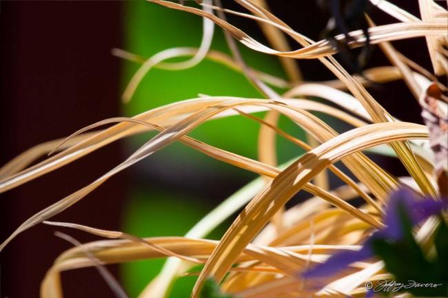 Sunlit Golden Blades
