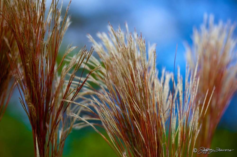 Oriental grass jeffrey favero fine art photography for Oriental grass