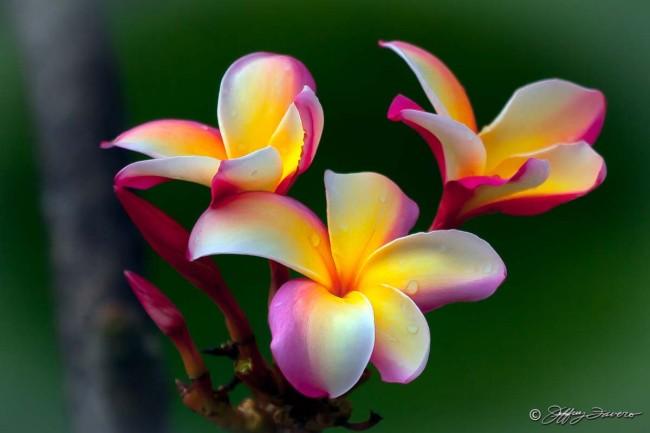 Tri-colored Plumeria - Hauula, Oahu HI
