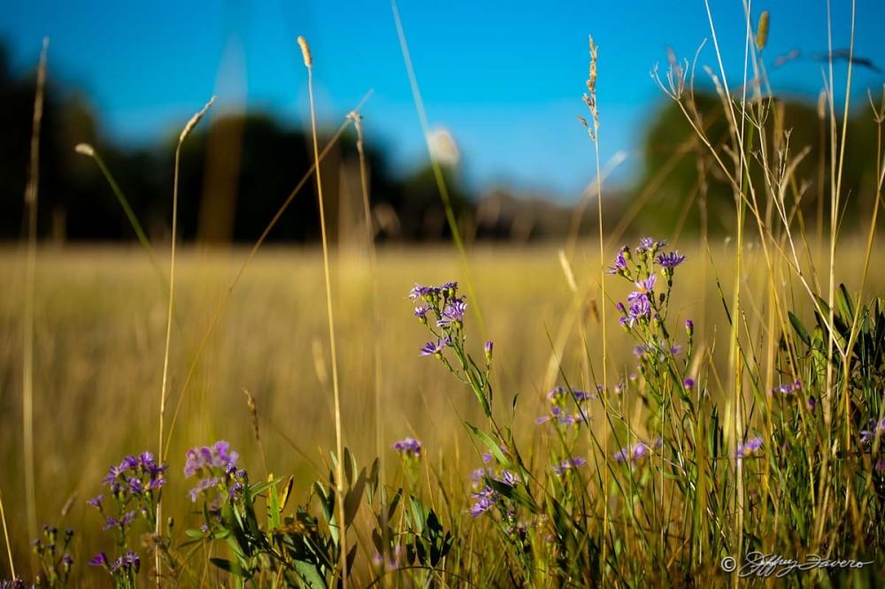 Purple Flower Wheatgrass