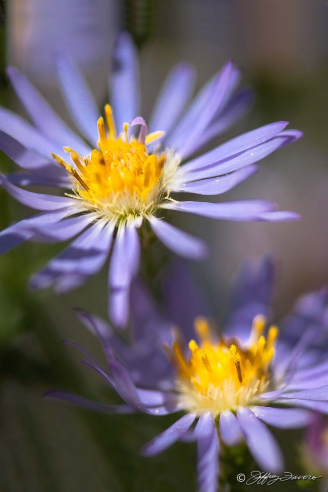 High Desert Purple Wildflower