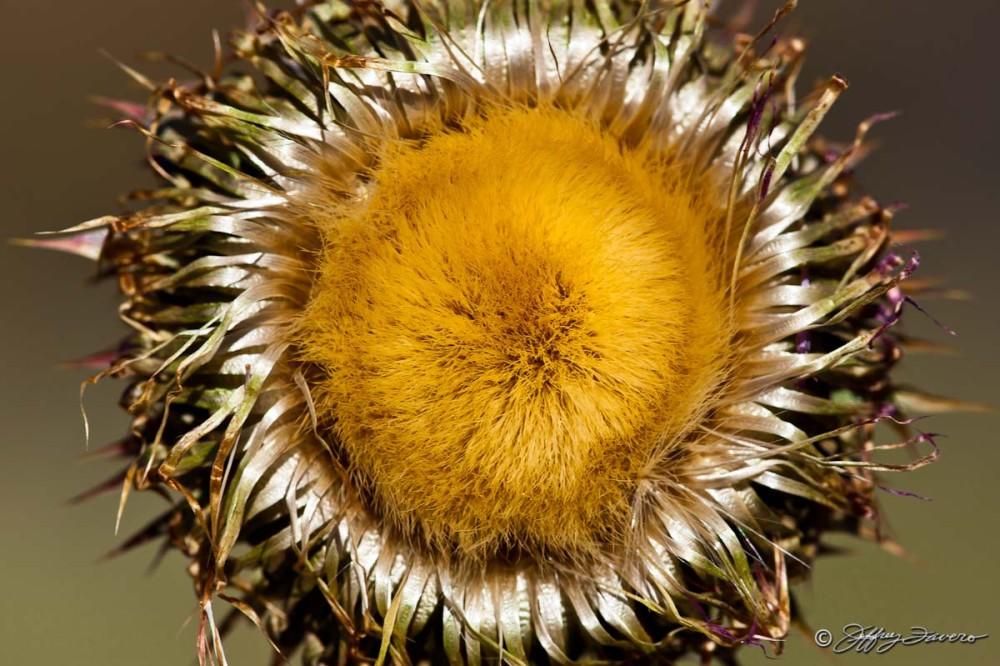 High Desert Wildflower
