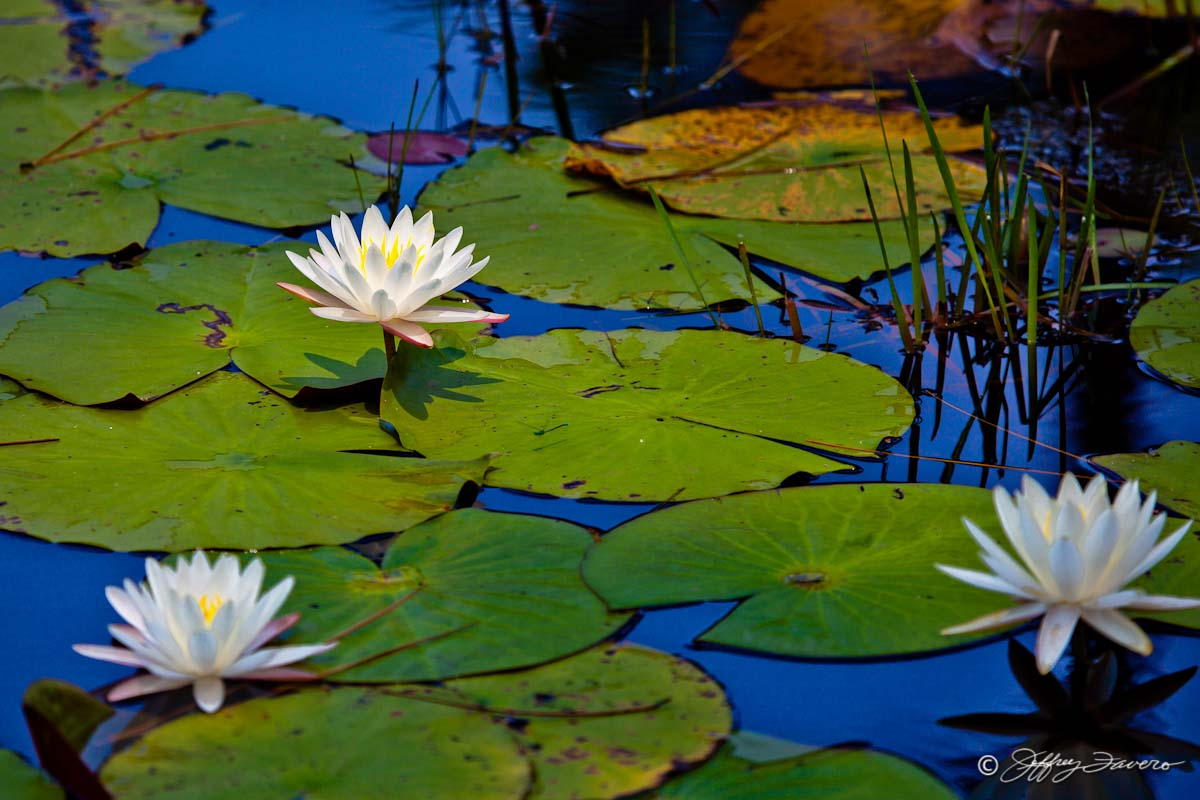 Lily Pad Blossoms Jeffrey Favero Fine Art Photography