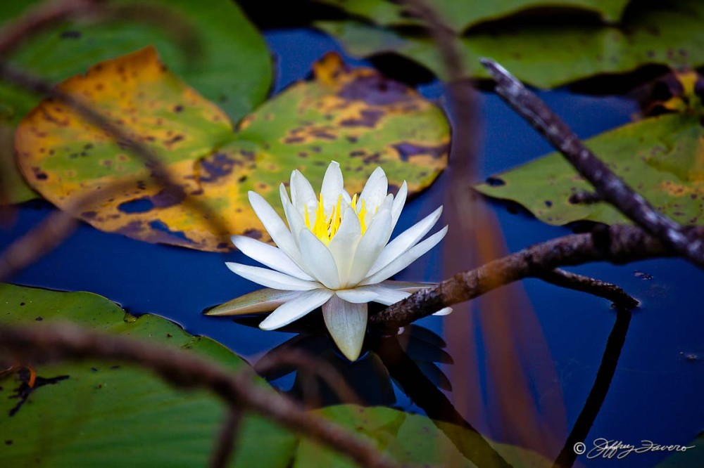 Blossom Amidst Lily Pads