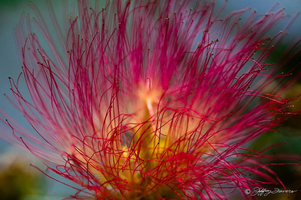 Mimosa Blossom