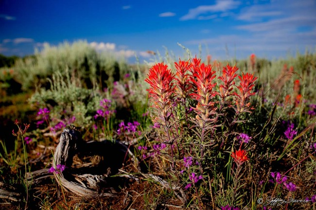 Indian Paintbrush And Sage
