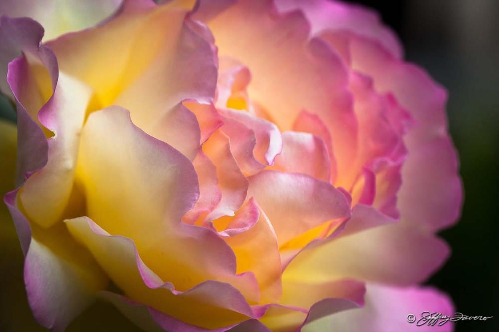 Rachel's Rose