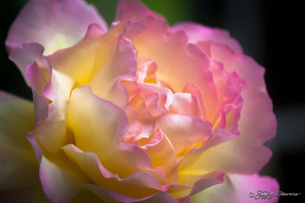 Rachel's Rose I