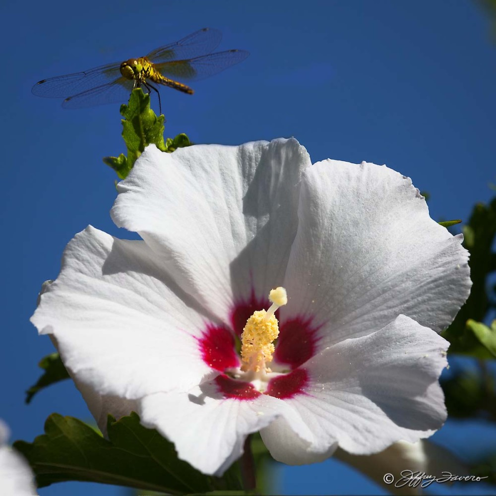 Dragonfly Hibiscus