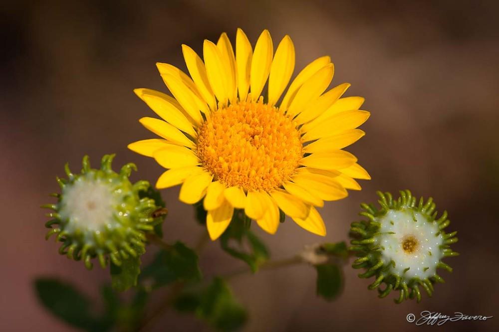 Yellow Flower Between Buds