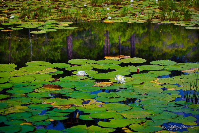 Lily Pad Reflection