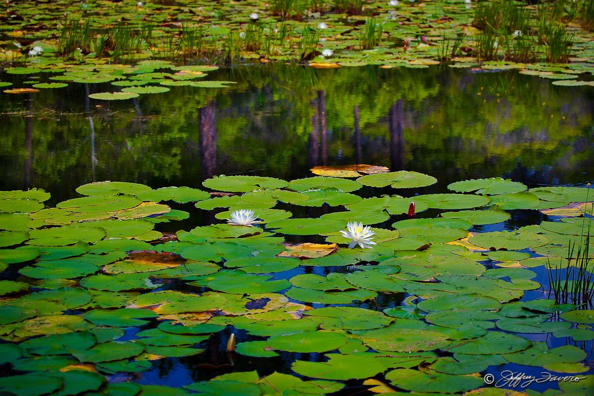 Lily Pad Reflection Jeffrey Favero Fine Art Photography