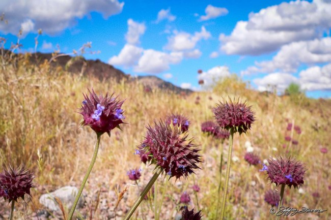 Death Valley National Park - Spring Flowers