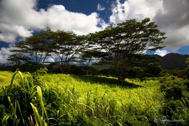 Sun Drenched Grass - Kaua'i