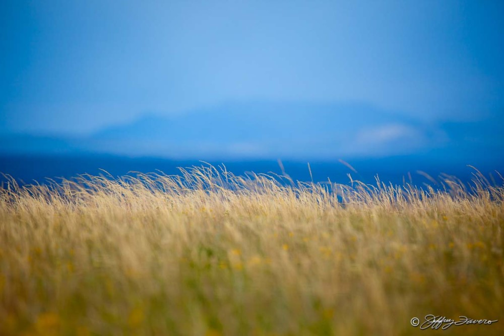 Golden Grass In Summer