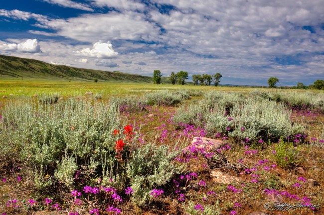 Spring Flowers And Sagebrush