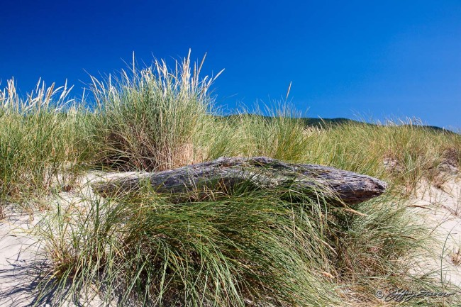Beach Grass - Pacific Coast
