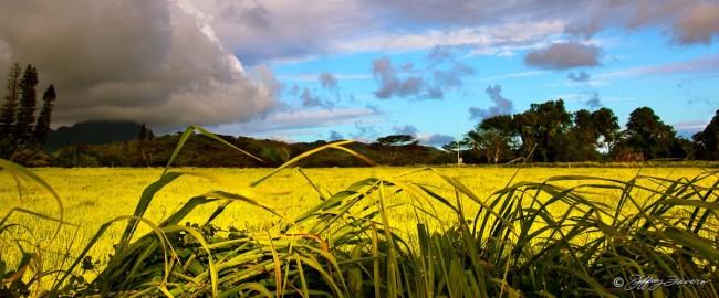 Sunlit Field - Kaua'i