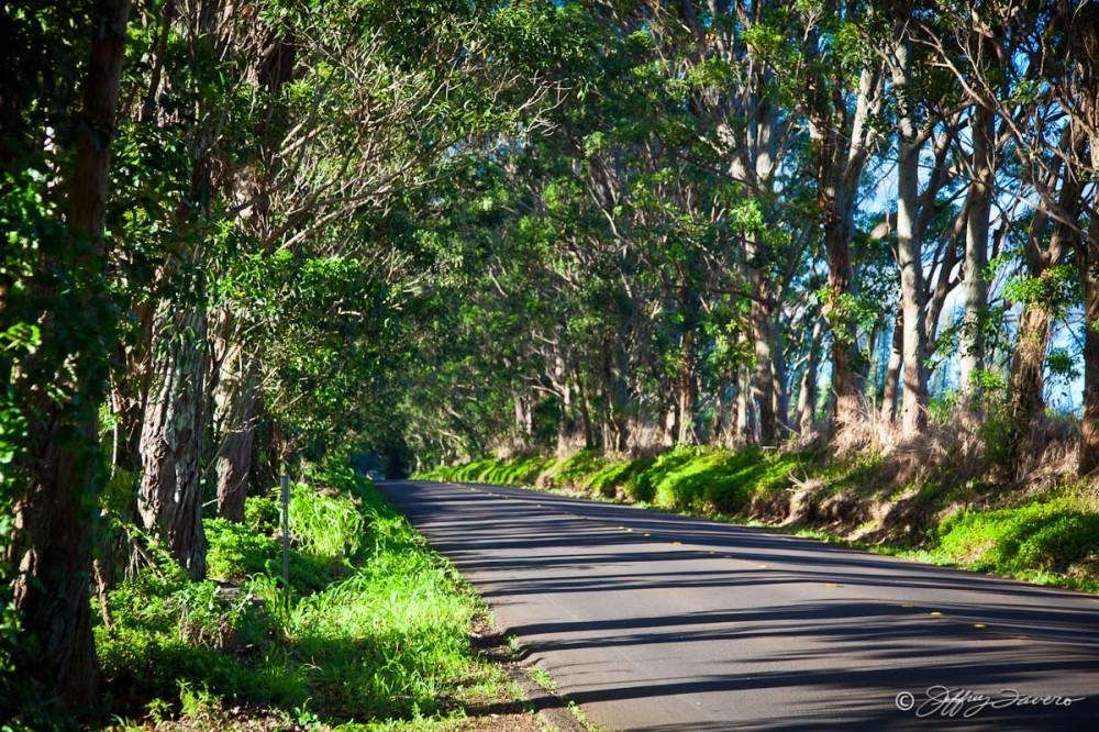 Kaua'i Tree-Lined Road