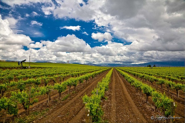 Bakersfield Grape Vines