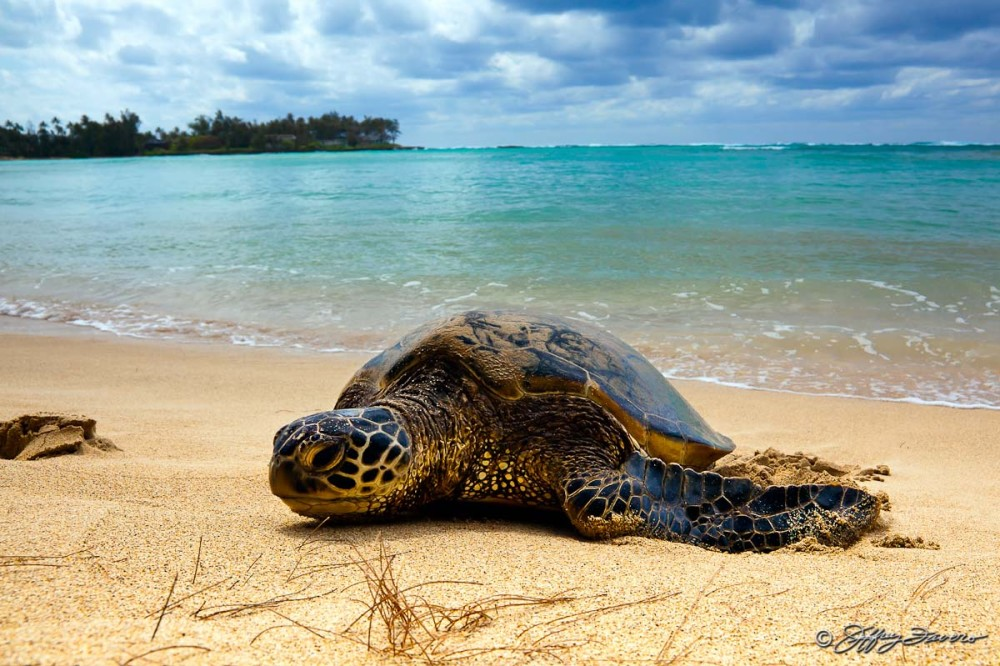 Northshore Secret Beach - Tortoise