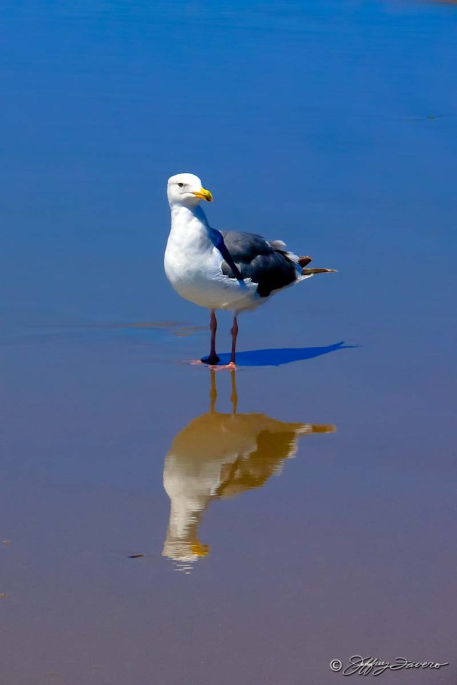 Pacific Coast Seagull