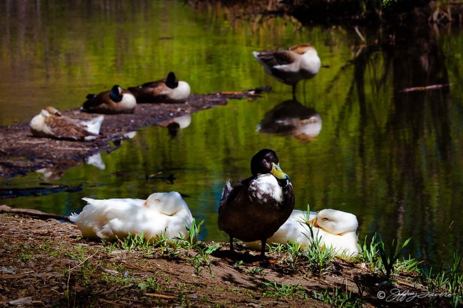 Beus Pond Geese And Ducks
