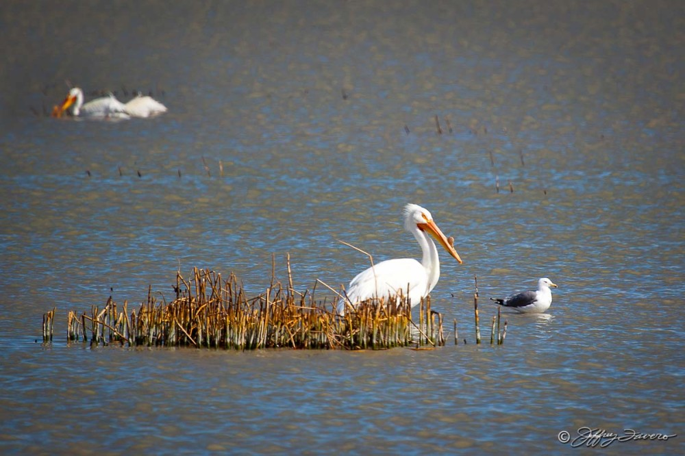 Pelican - Seagull