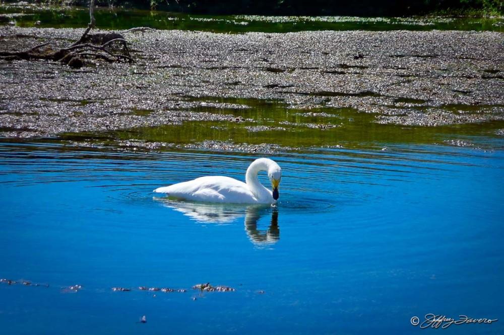 San Antonion Swan