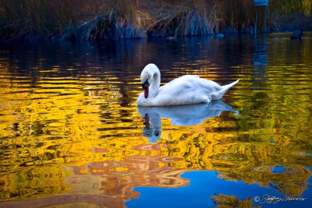 Beus Pond Swan