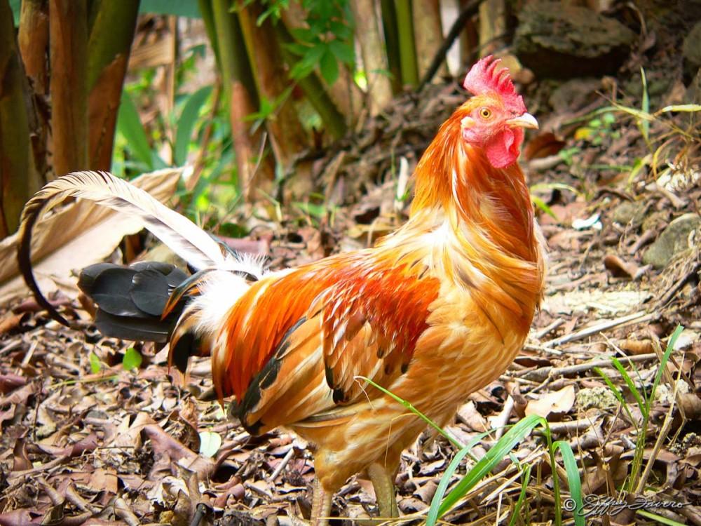Kaua'i Rooster