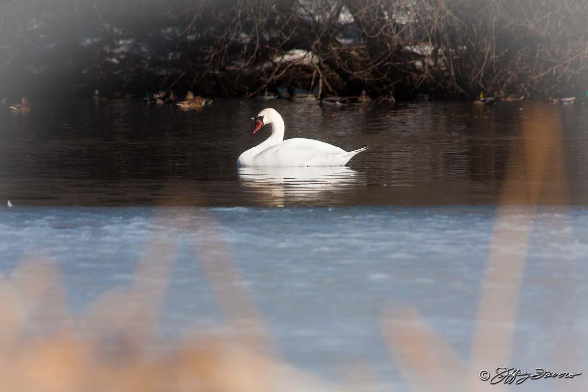 Winter Swan Jeffrey Favero Fine Art Photography