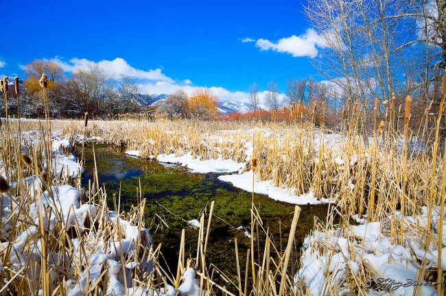 Winter Cattails and Color